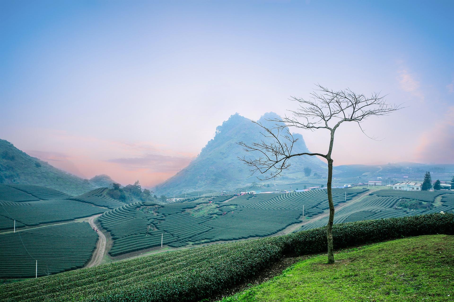 Czarna herbata – krótka historia